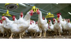 British appetite for chicken helps deforest Latin America, says Greenpeace