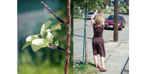 """Guerilla Grafters"" - Activists who secretly graft fruit branches into sterile trees in cities"
