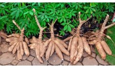Women who grow cassava in Suriname to sell it in the Netherlands