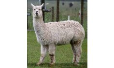 Nanobodies found in alpacas reduce Covid's viral load