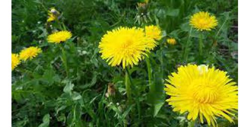 Dandelion rubber is making tires more sustainable
