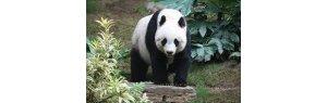 Giant pandas no longer at risk of extinction, says China