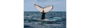 Humpback Whale seen on Fortaleza's beaches